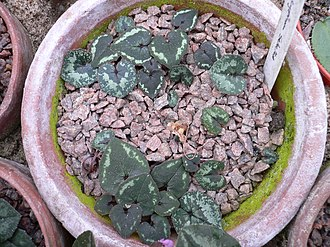 Cyclamen cyprium - Image: Cyclamen cyprium (leaves)