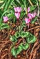 Cyclamen persicum .jpg
