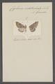 Cyclomia - Print - Iconographia Zoologica - Special Collections University of Amsterdam - UBAINV0274 059 14 0002.tif