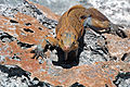 Cyclura rileyi rileyi (San Salvador rock iguana) (Green Cay, offshore from northwestern San Salvador Island, Bahamas) 6 (15853324788).jpg