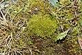 Cynodontium tenellum (a, 142413-472636) 1647.JPG