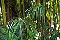 Cyperus alternifolius 3zz.jpg
