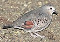 DRbirds Common Ground-Dove 1.JPG
