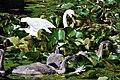 Dabbling in water lilies (5877578784).jpg