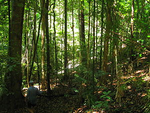 English: Daintree Rainforest with bushwalker, ...