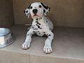 Dalmatian puppy 03.jpg