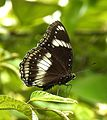Danaid Eggfly Hypolimnas misippus by Dr. Raju Kasambe DSCN9073 (6).jpg