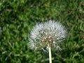 Dandelion Seeds - panoramio.jpg