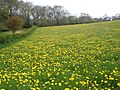 Dandelions, at Post Farm - geograph.org.uk - 1272312.jpg