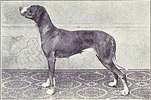 Old Danish Pointer Wikipedia