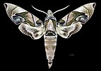 Daphnis protrudens protrudens MHNT CUT 2010 0 200 New Guinea male dorsal.jpg