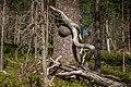 Dead and alive pinetrees of Kivitunturi, Savukoski, Lapland, Finland, 2021 June.jpg