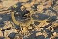 Deathstalker (Leiurus quinquestriatus) 2.jpg
