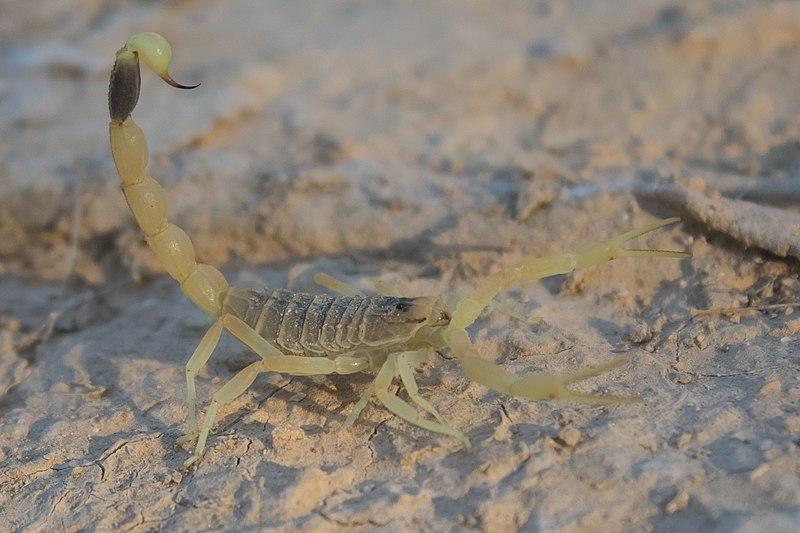 File:Deathstalker (Leiurus quinquestriatus) 7.jpg