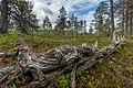 Decaying wood at Kivitunturi in Savukoski, Lapland, Finland, 2021 June.jpg