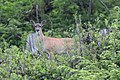 Deer in the Tongass National Forest.jpg