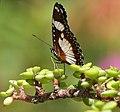 Denaid Eggfly (Hypolimnas misippus) on Portulacaria afra W2 IMG 1473.jpg
