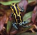 Dendrobates tinctorius en Guyane.jpg