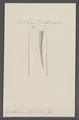 Dentalium fossile - - Print - Iconographia Zoologica - Special Collections University of Amsterdam - UBAINV0274 081 10 0035.tif