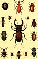 Der Käferfreund. Praktische Unleitung zum Sammeln und Bestimmen der Käfer ((1896)) (20862578055).jpg