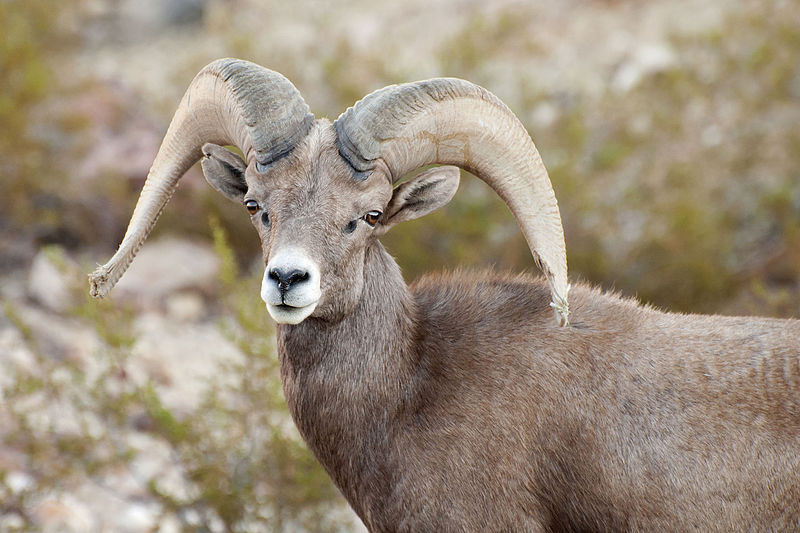 File:Desert Bighorn Sheep (8981484583).jpg