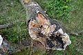 Detmold - 2014-06-13 - LIP-066 - Großer Ehberg - Coprinellus domesticus (13).jpg