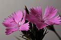 Dianthus cartusianorum.jpg