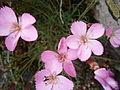 Dianthus sylvestris004.jpg