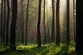 Dicrano-Pinion, Pinus sylvestris 02.jpg