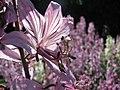 Dictamnus albus Dyptam jesionolistny 2009-05-24 01.jpg