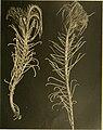 Die gestielten crinoiden der Siboga-expedition (1907) (20916327902).jpg