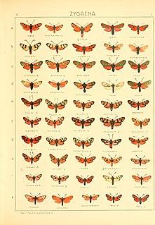 <i>Zygaena magiana</i> Species of moth