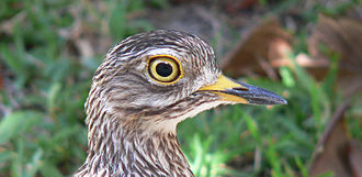 Burhinus - Spotted thick-knee