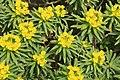 Dingli - Triq Panoramika - Cliffs - Euphorbia dendroides 08 ies.jpg