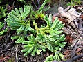 Diphasiastrum alpinum plant (04).jpg