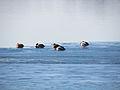Divlje patke na zaledjenom savskom jezeru.jpg