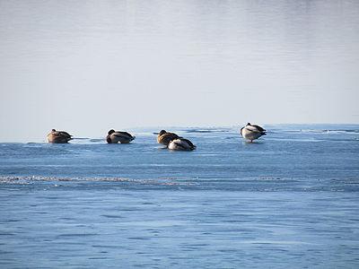 Divlje patke na zaledjenom savskom jezeru