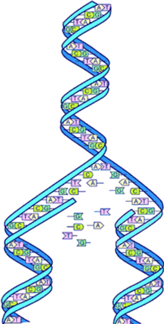 Human Genome Project - Image: Dna split