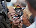 Dog as TV star Belgian National Day Brussels 2012.jpg