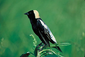 Claireville Conservation Area - Bobolink