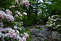 Dolly sods mountain flowers-pub12 - West Virginia - ForestWander.jpg