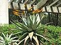Domaine du Rayol - Aloe marlothii.jpg