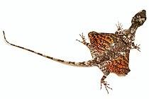 Het vliegend draakje kan stukjes zweven door de grote huidflappen...