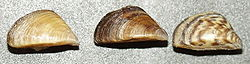 Dreissena polymorpha1.jpg