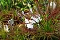 Drosera, botanical garden.jpg