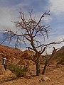 Dry Accacia, Hatira Gulch, Negev, Israel שיטה יבשה, נחל חתירה, הנגב - panoramio (2).jpg