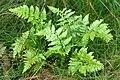 Dryopteris.carthusiana3.-.lindsey.jpg