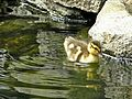 Duck - Mallard (Anas platyrhynchos) - Chick - In Fountain 3 (b).JPG