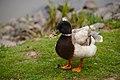 Duck Deformed Beak.jpg