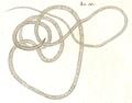 Dujardin 1845 Planche 2 - A1 Trichosoma dispar.png